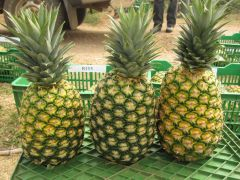 MD2 Pineapples-94093
